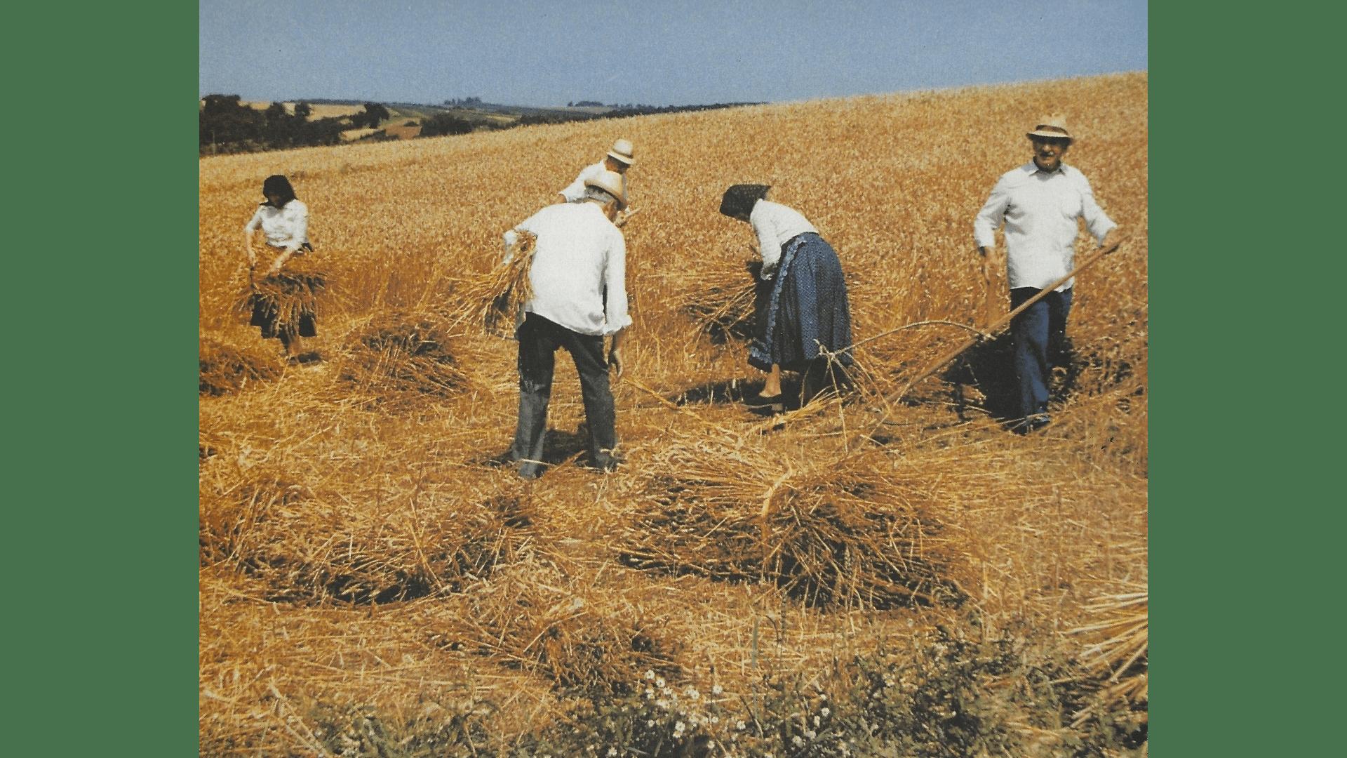 Schnitt (Erntezeit) 1992 nachgestellt in Originalkleidung – Unvergessen ist die Zeit der Ernte auf den unendlich scheinenden Fluren. Foto: Archiv Freundeskreis Filipowa.